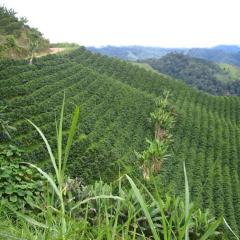 Conozca el Café Amazónico