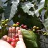 Con variedades resistentes, cafeteros colombianos ahorran más de USD 200 millones al año