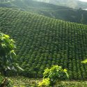 2013 Represented an Important Jump in Coffee Crops Productivity