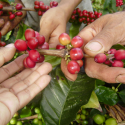 Cosecha de Café de Colombia sigue creciendo gracias a programas de renovación