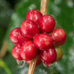 Colombian coffee production remains stable in November