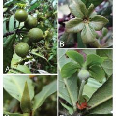 Nueva planta es descubierta en zona cafetera