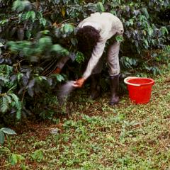 Fertilización de cafetales, clave para la productividad