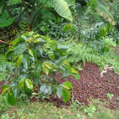 Bien aprovechada, la pulpa del café deja de ser un desperdicio
