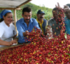 Colombian Coffee Production Increased 3% during the Past 12 Months