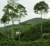 Colombian Coffee production forecast for the first semester of the year